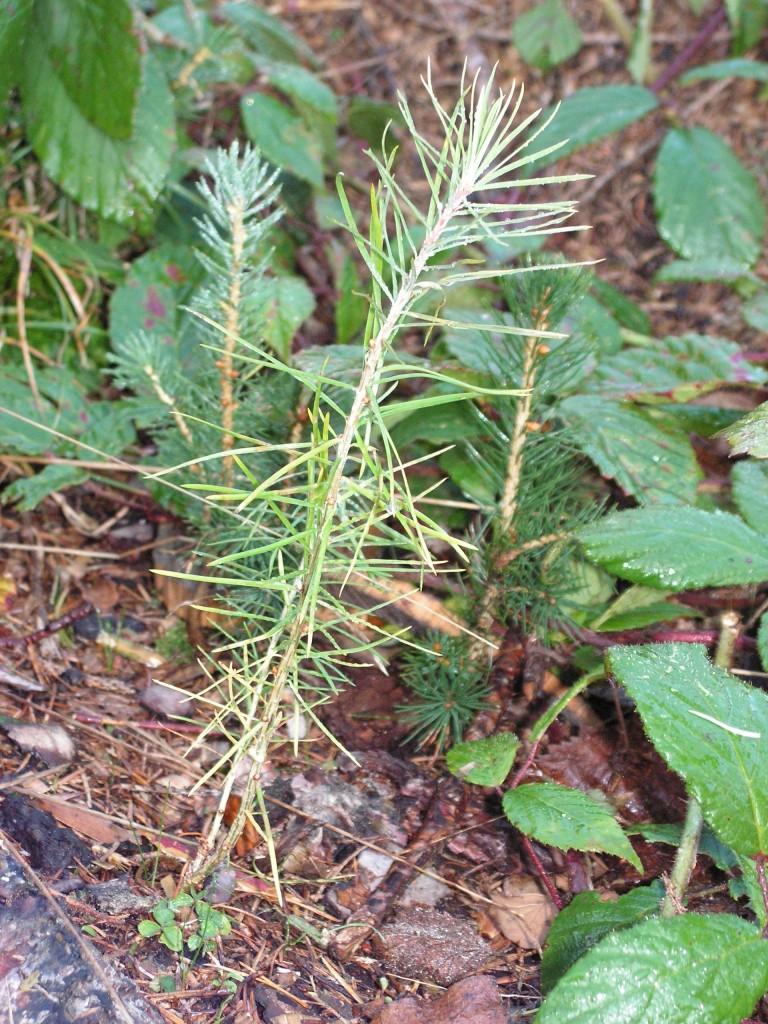 3.Semenáček modřínu
